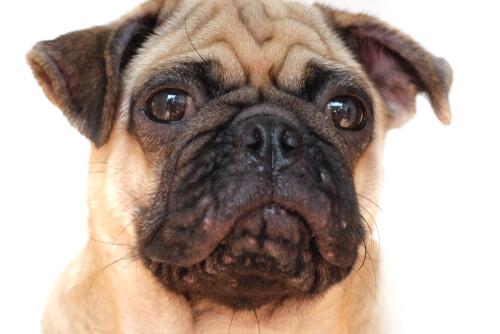 Tratamientos del acné en perros