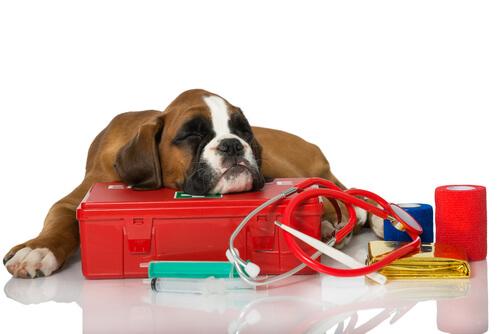 Septicemia en perros: síntomas y tratamientos