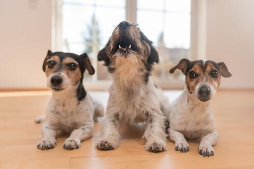 ¿Por qué algunos perros no ladran?