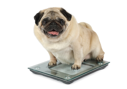 La obesidad en perros puede ser un grave problema.
