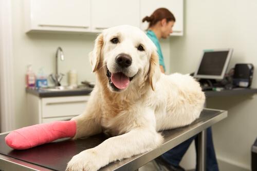 Cuidados tras una cirugía ortopédica en perros