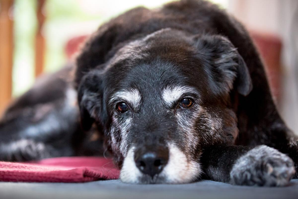 Un perro viejo tirado en el suelo.