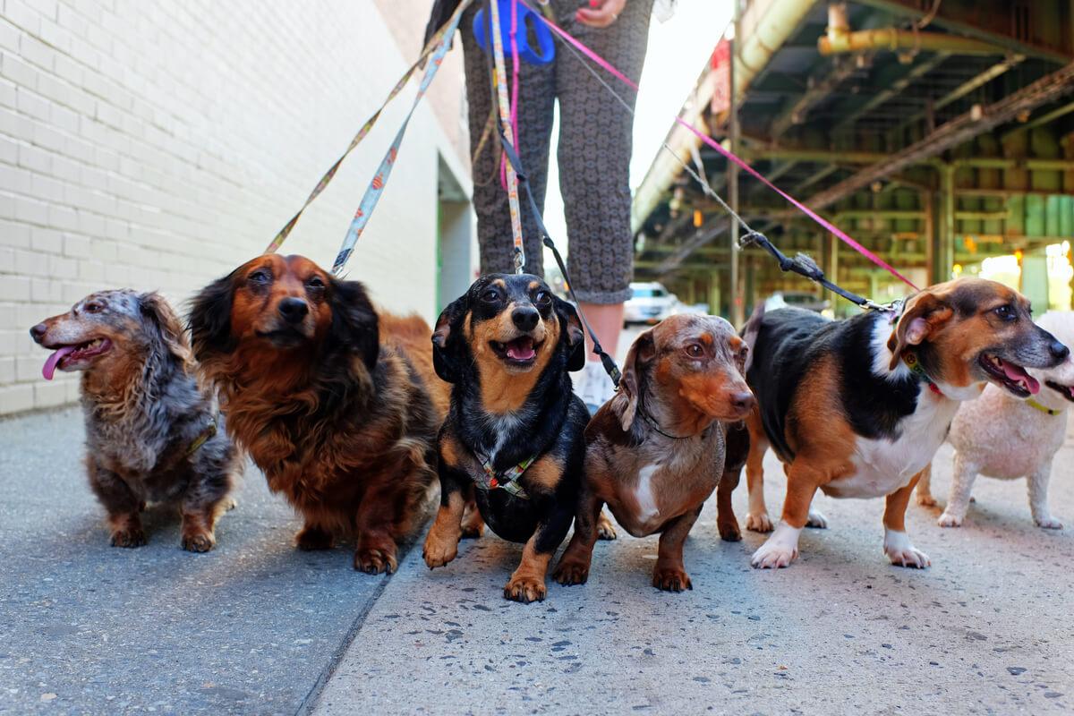 La marche quotidienne est essentielle pour les chiens.