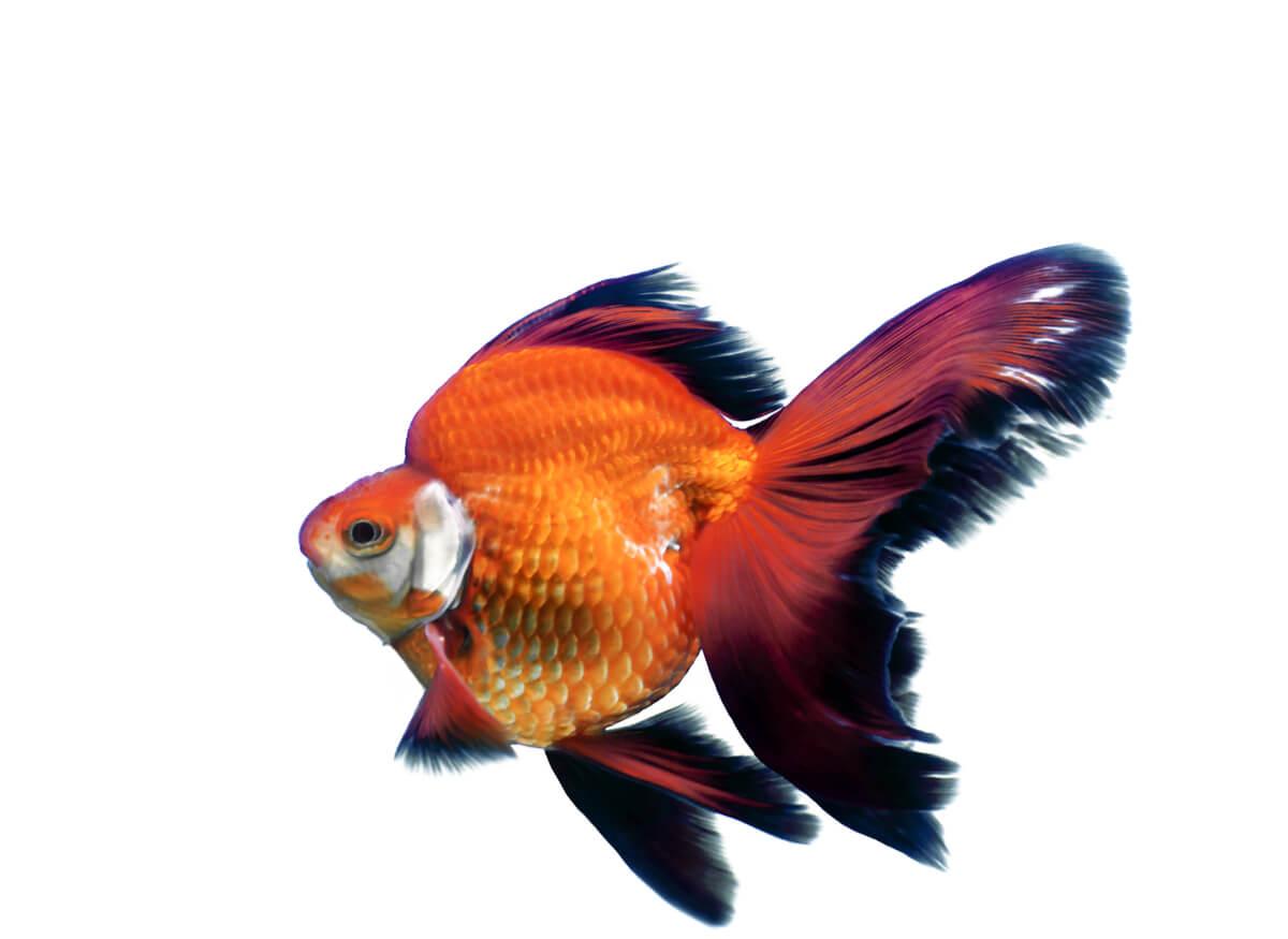 Un pez dorado.