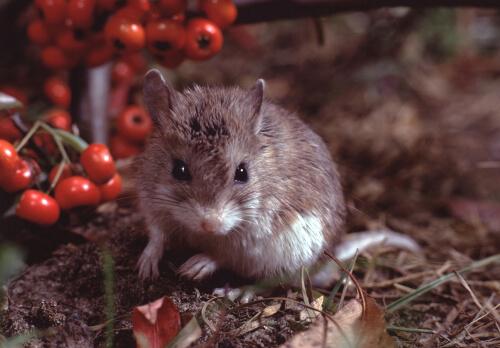 Ratón saltamontes: un roedor inmune al veneno