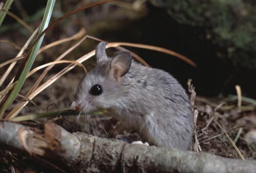 Un ratón saltamontes en la naturaleza.