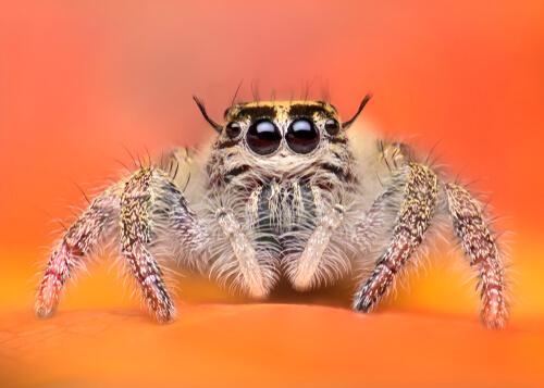 Las arañas más adorables del reino animal
