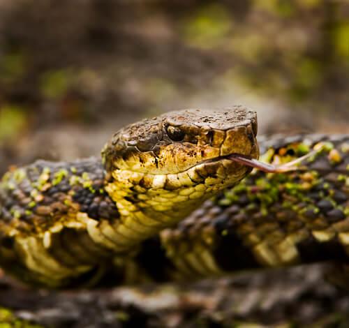 Primer plano de una serpiente boca de algodón.