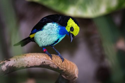 Tangara del paraíso: características y alimentación