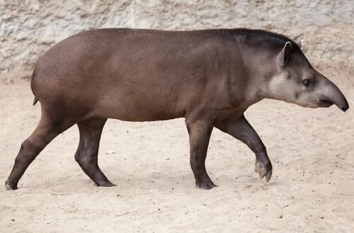 Un tapir adulto.