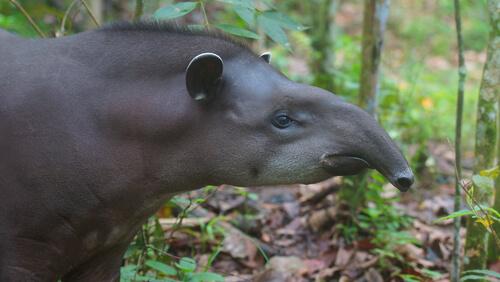 Conoce al tapir, el pariente desconocido del rinoceronte
