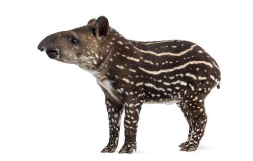 Un tapir joven sobre un fondo blanco.