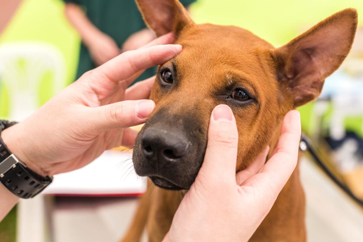 Un veterinario examinando los ojos de un perro.