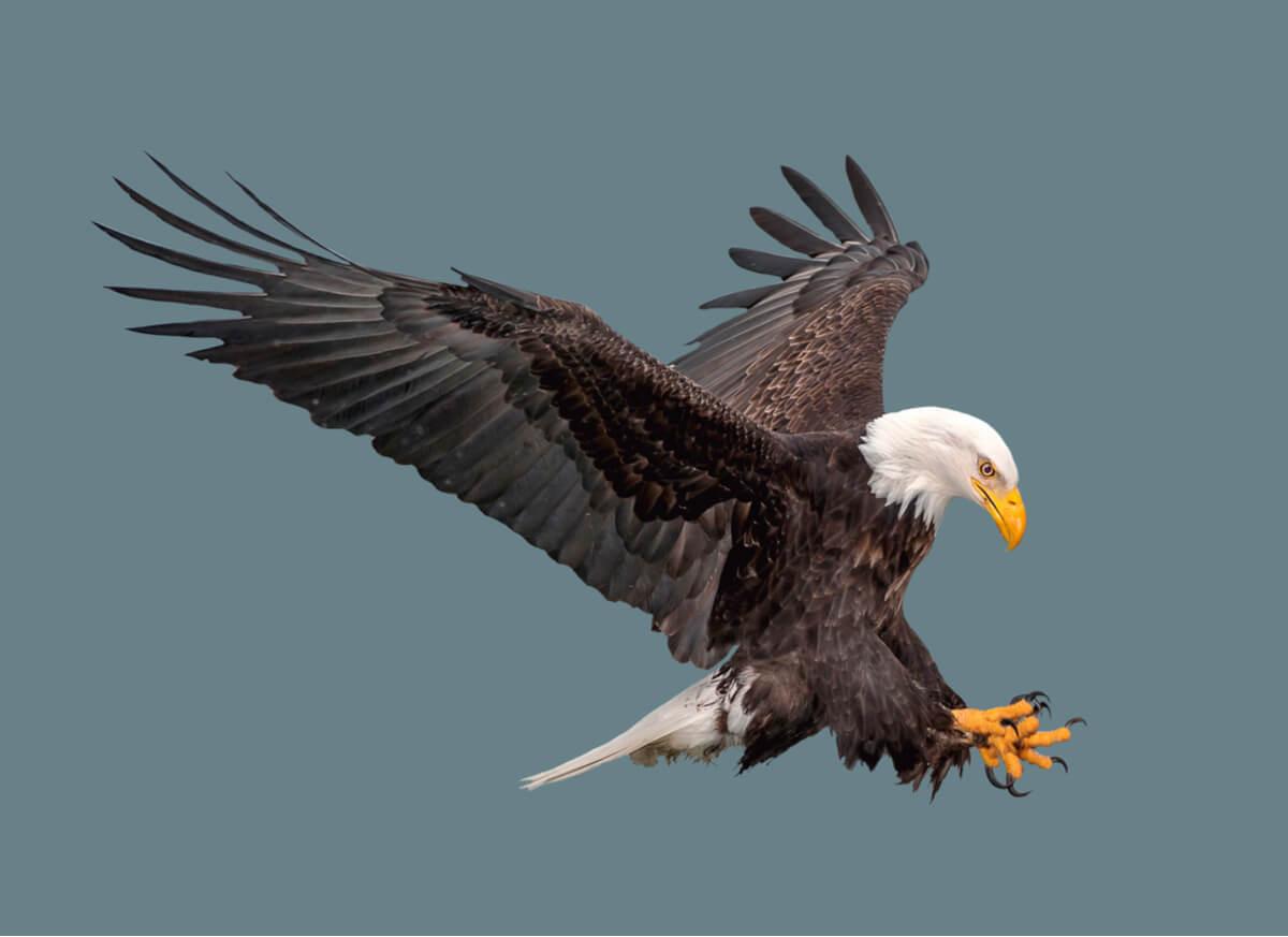 Las técnicas de caza en las águilas