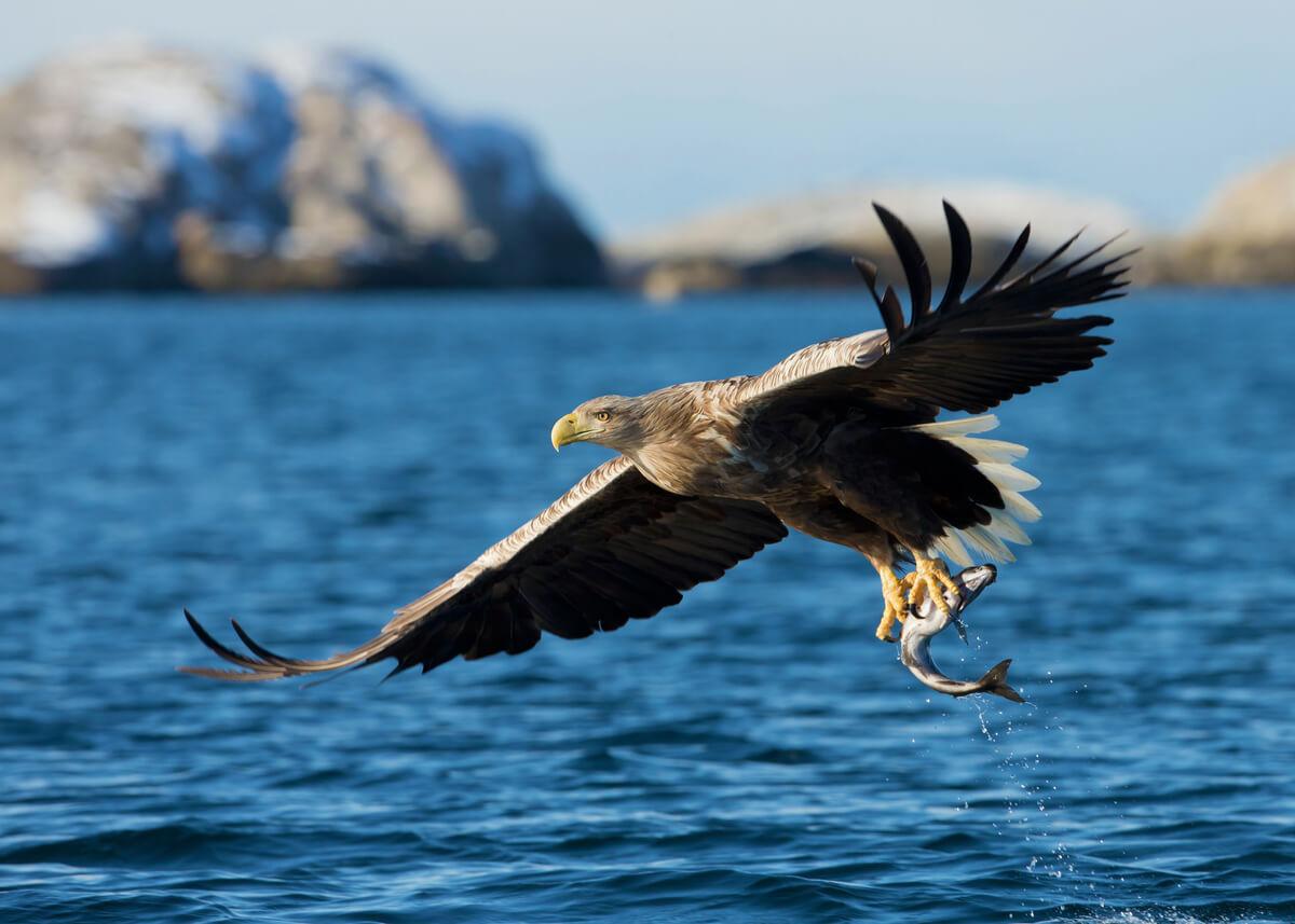 Un águila cazando un pez.