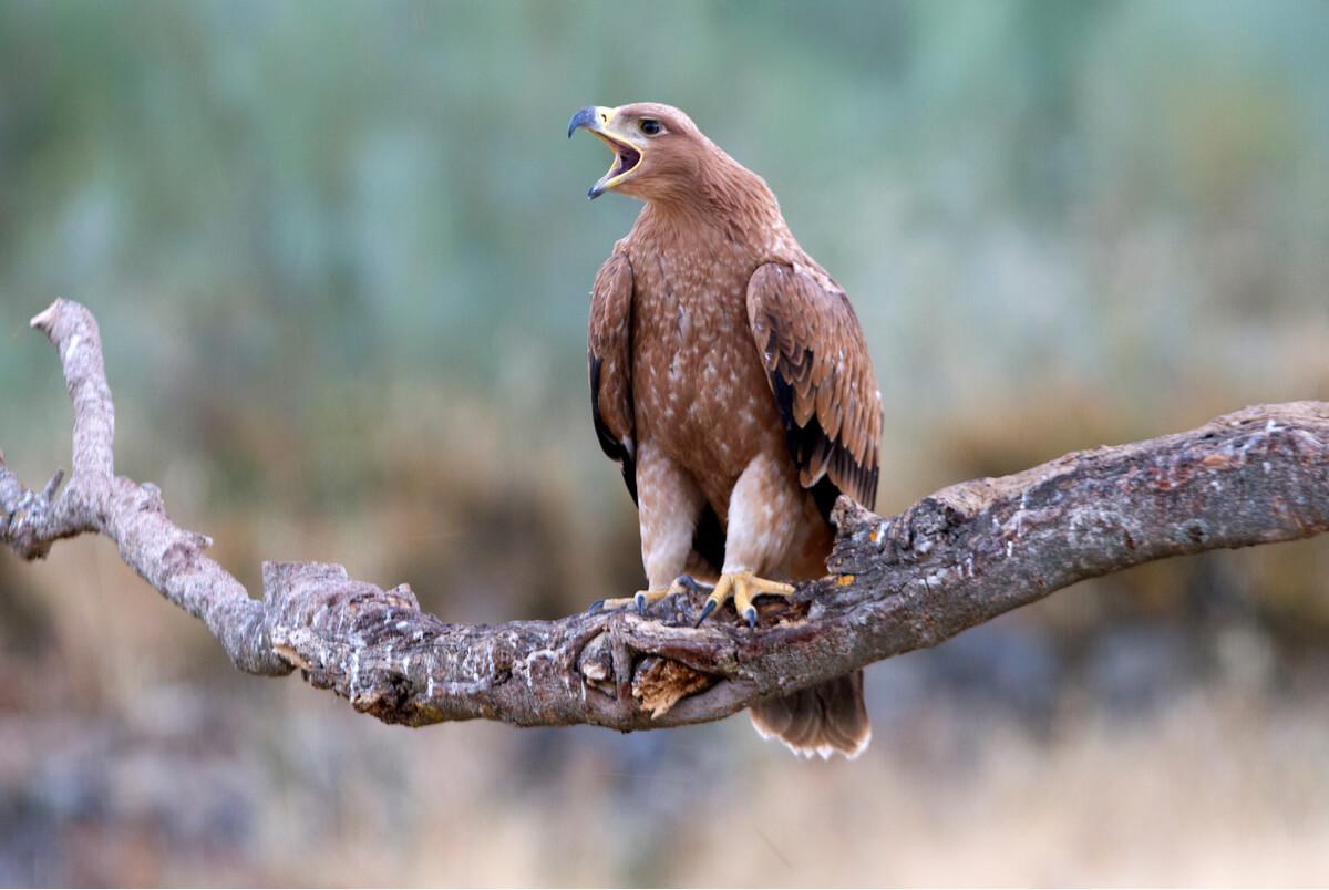 Una águila imperial ibérica.