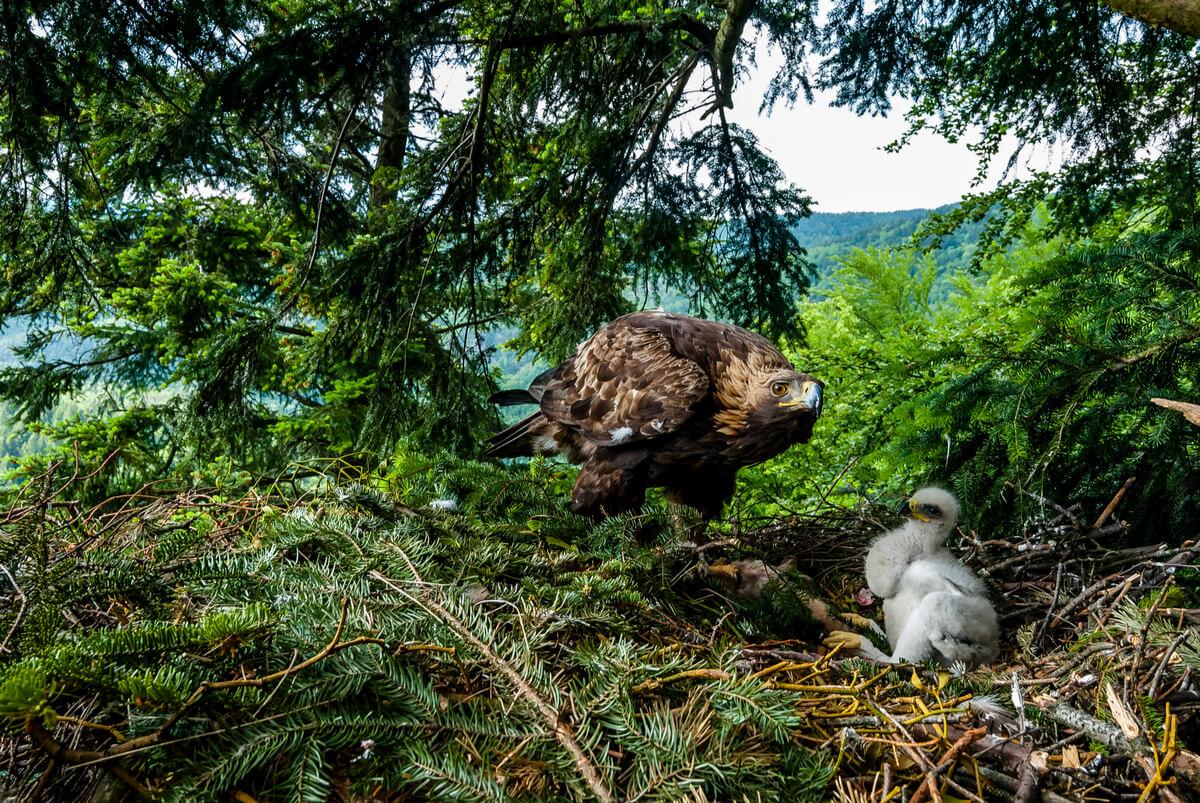 Una águila real adulta y una cría.