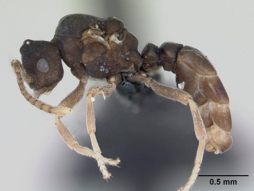 Las hormigas Anergates atratulus y su increíble comportamiento