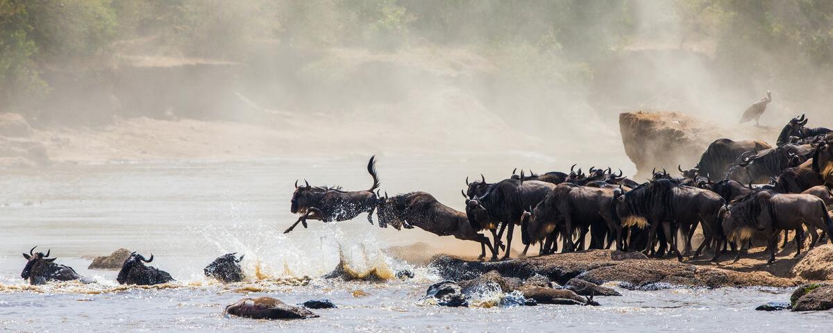 Los animales se juegan la vida durante las migraciones.
