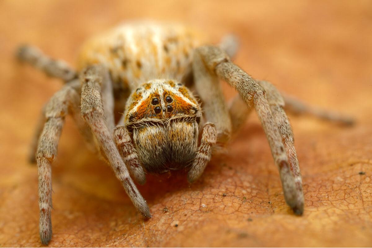 Una araña africana.