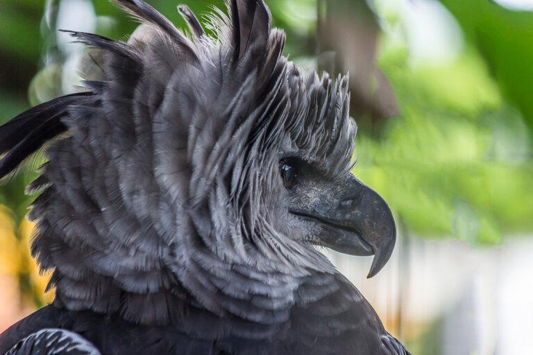 Harpia harpyja: la arpía mayor de América del Sur