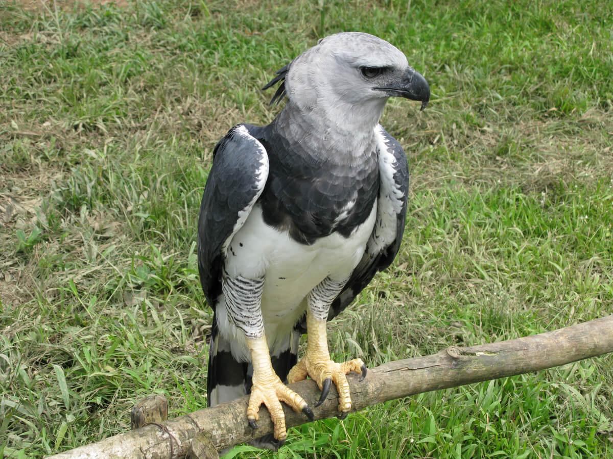 Una ave arpía de cuerpo entero.