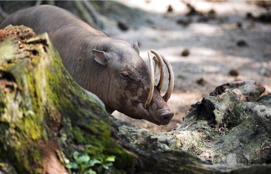 El babirusa: origen y hábitat