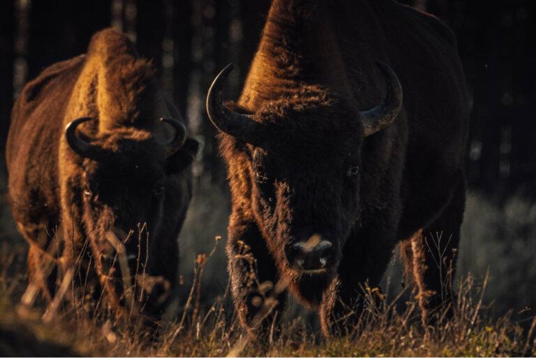 ¿Qué es la resilvestración o 'rewilding'?