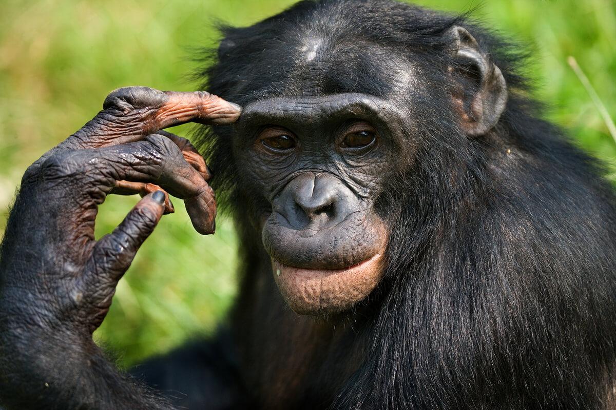 Diferencias entre chimpancés y bonobos.