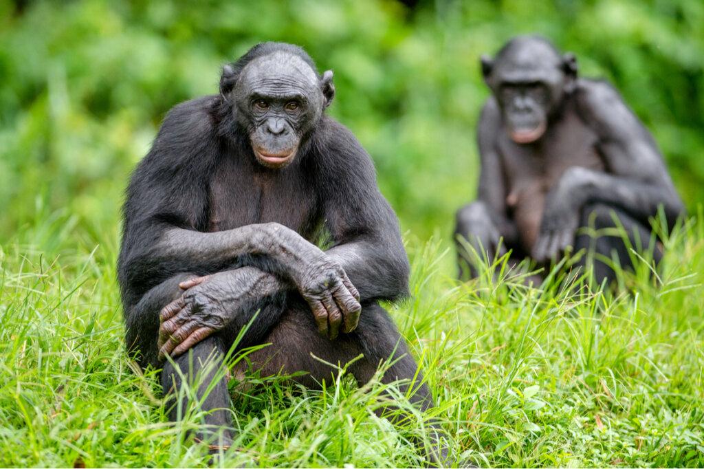 Las cinco diferencias entre chimpancés y bonobos
