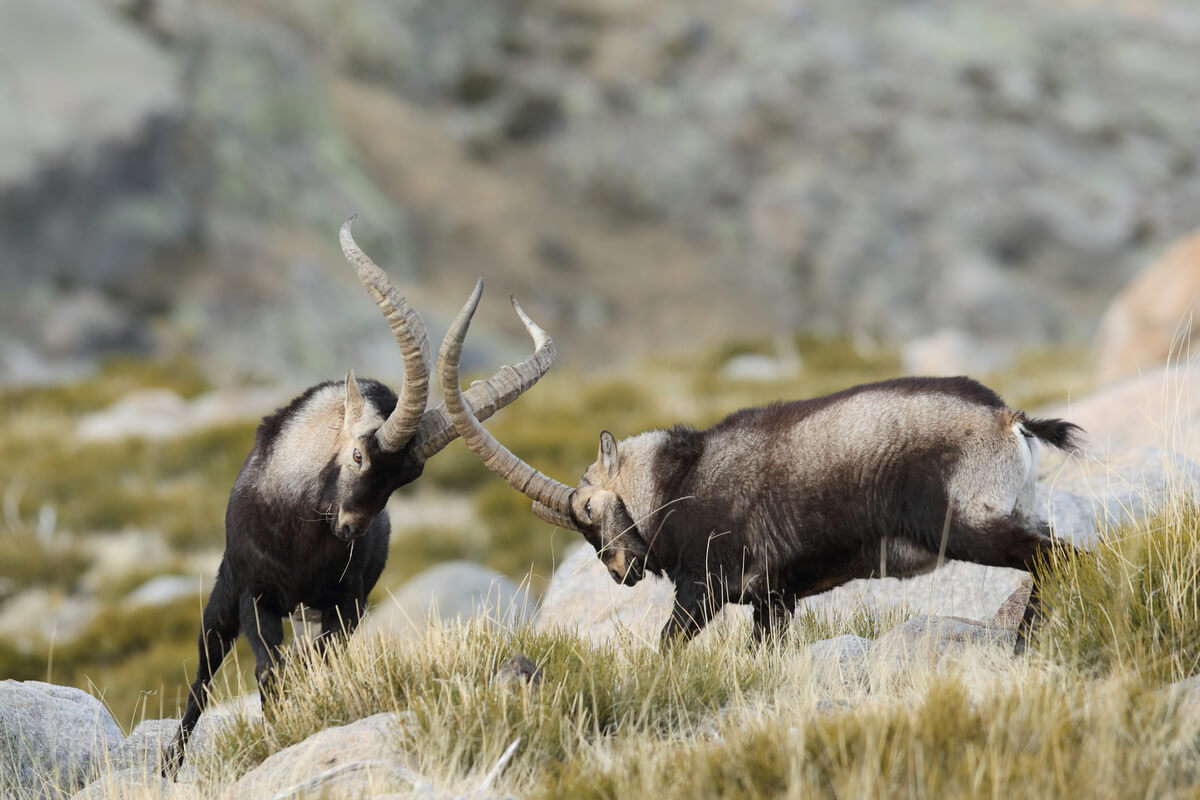 Dos cabras luchando