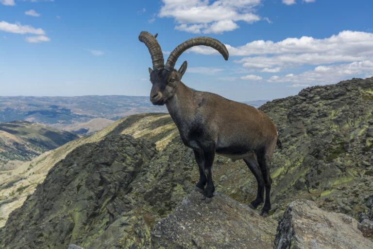 El bucardo: la cabra extinta de los Pirineos