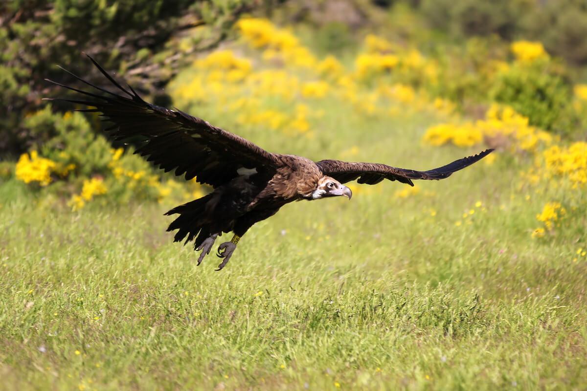 Un buitre negro alzando el vuelo.