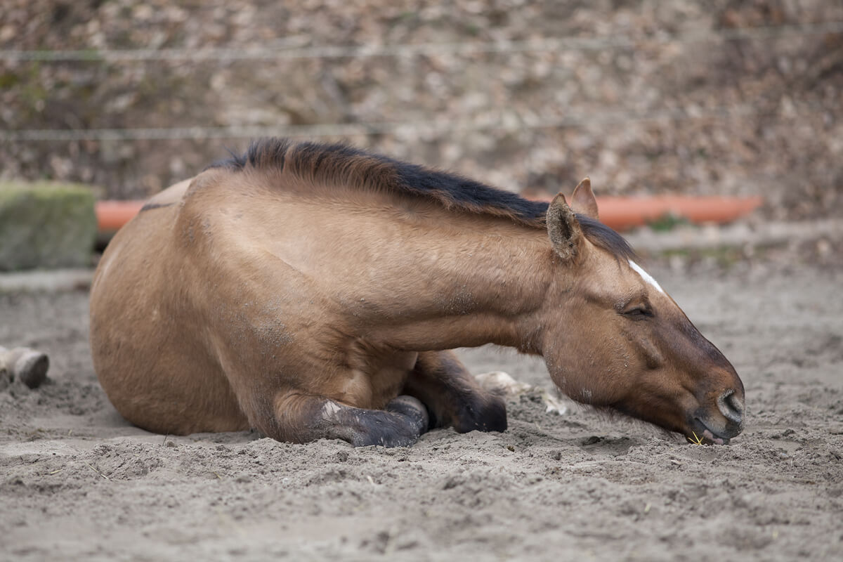 Los cólicos en caballos son relativamente comunes.