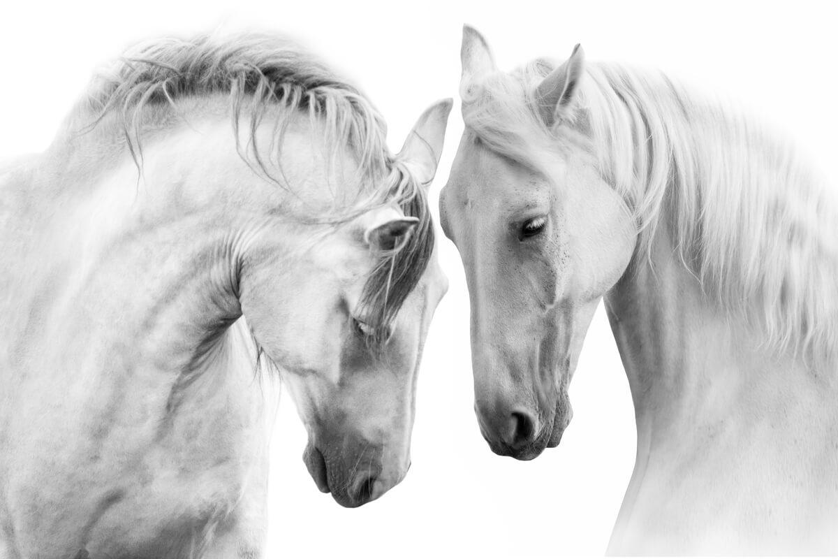 Unos caballos tocándose las cabezas.