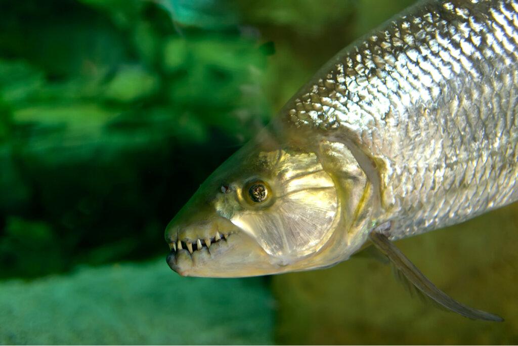 El pez tigre: titán africano de aguas dulces