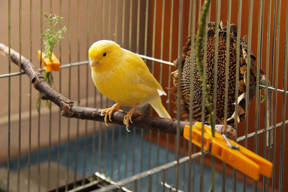 Un canario en su jaula.