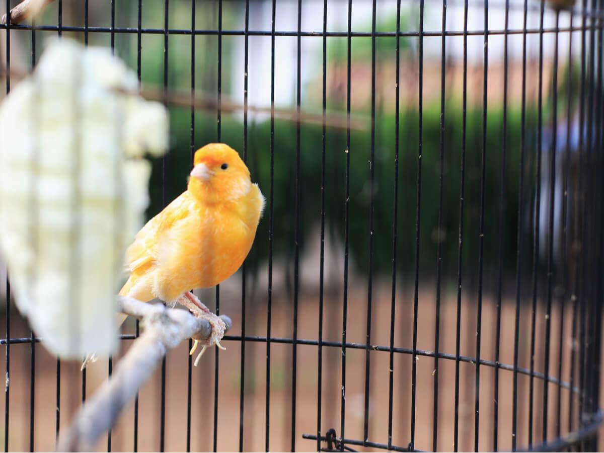 Un canario en el palo de su jaula.