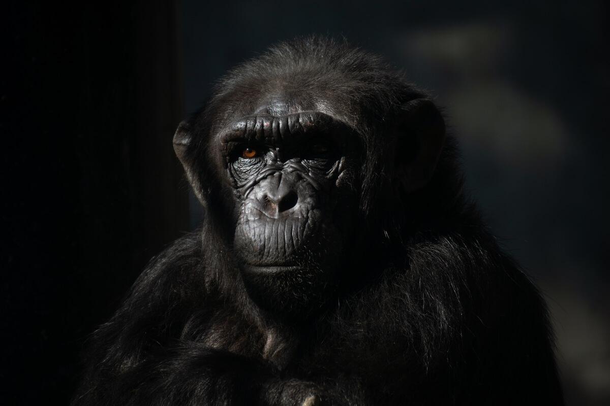 La cara de un chimpancé con un fondo negro.