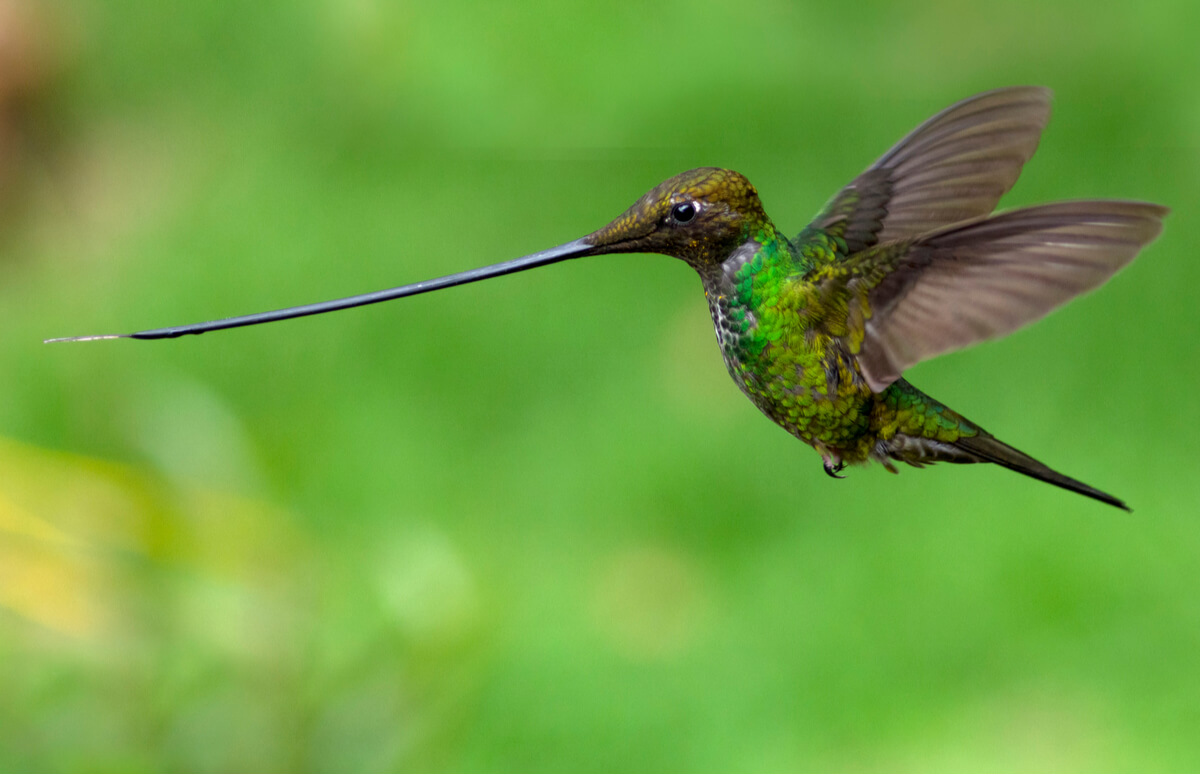 Un colibrí picoespada.