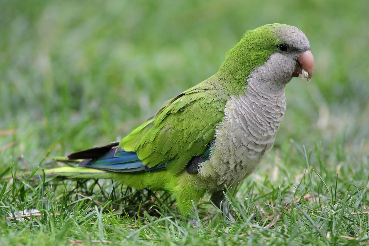 Un pappagallo argentino nell'erba.