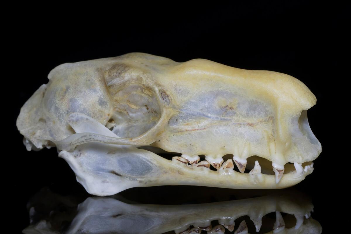 Cráneo de un murciélago cabeza de martillo.