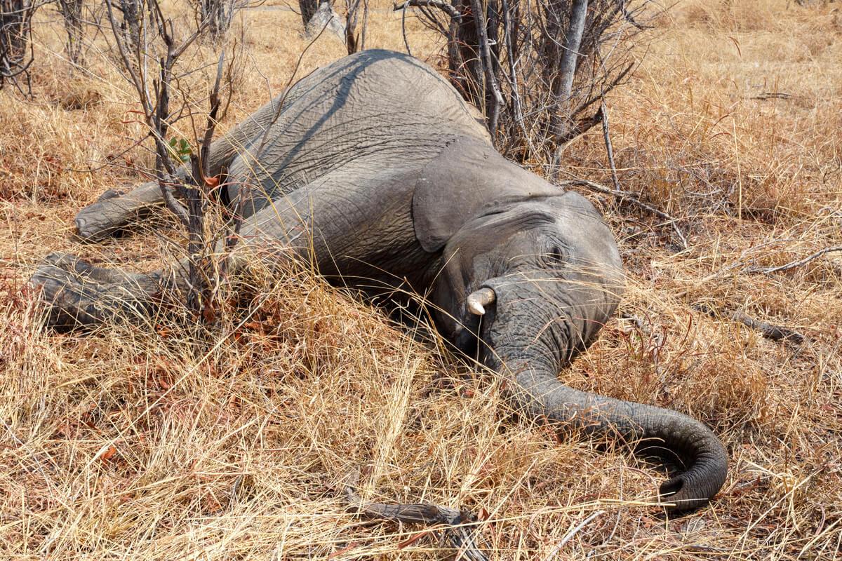 Cientos de elefantes muertos en Botswana: ¿qué los está matando?