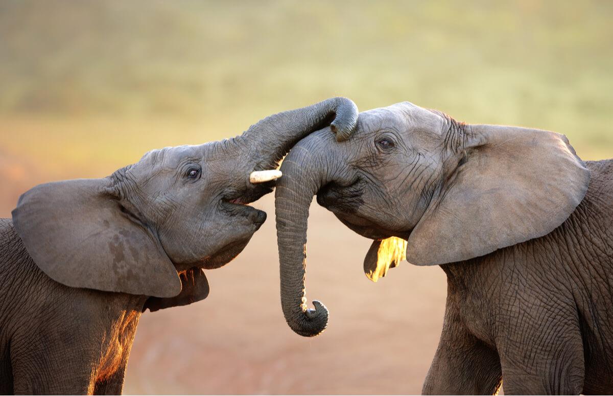 Elefantes que se comunican.