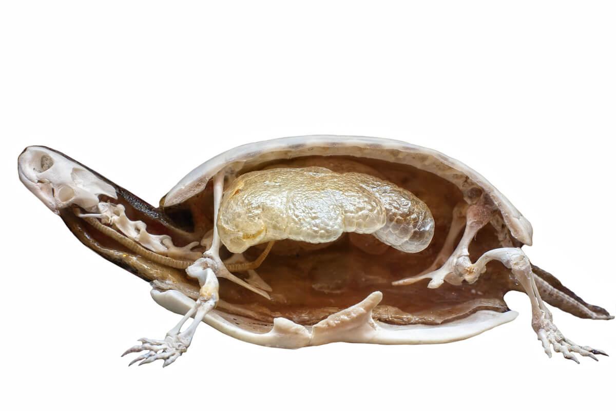 El esqueleto de una tortuga.