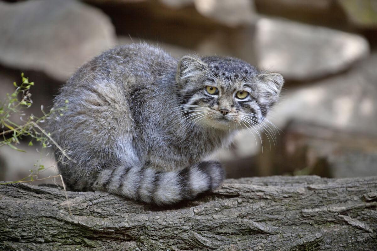 Los felinos son considerados los aristócratas del reino animal.