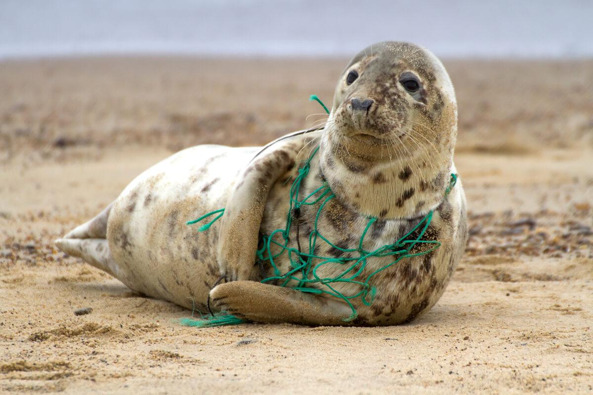 Una foca enredada en una red de plástico.