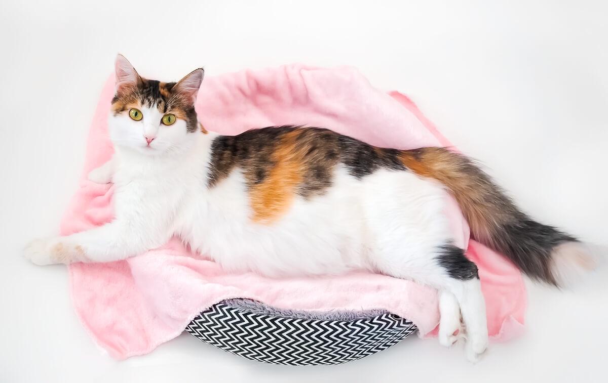 Una gatta incinta.