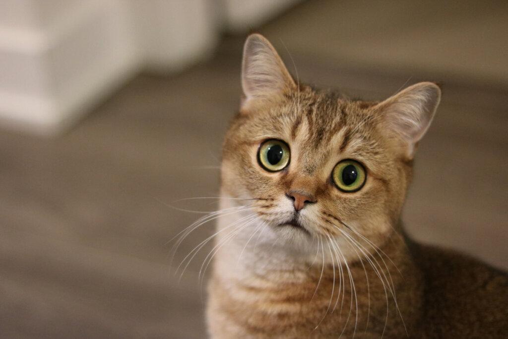 Tratamientos para la depresión en gatos