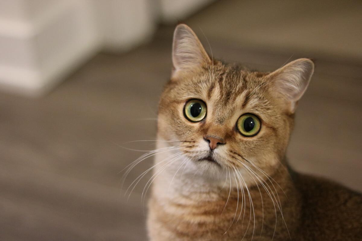Las enfermedades mentales en gatos son relativamente comunes.